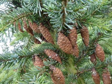 Adopteer Een Kerstboom Bij Landgoed Kraaybeekerhof