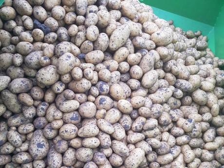 b1583076cc9 Het aardappelras Twinner heeft de potentie om de Frieslander te ...